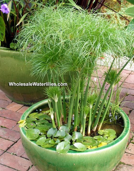 Dwarf Giant Papyrus | Cyperus percamentus | Little Tut | Favorite - Pond Megastore Wholesale Waterlilies Dept