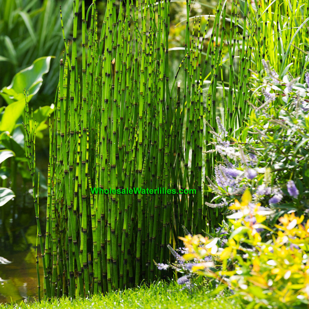 Dwarf Horsertail Rush | Equisetum scirpoides | Native - Pond Megastore Wholesale Waterlilies Dept