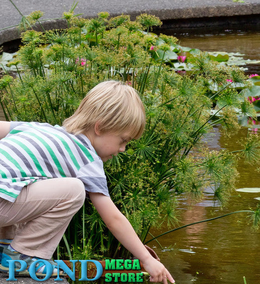 Dwarf Papyrus | Cyperus prolifer aquatic - Pond Megastore Wholesale Waterlilies Dept