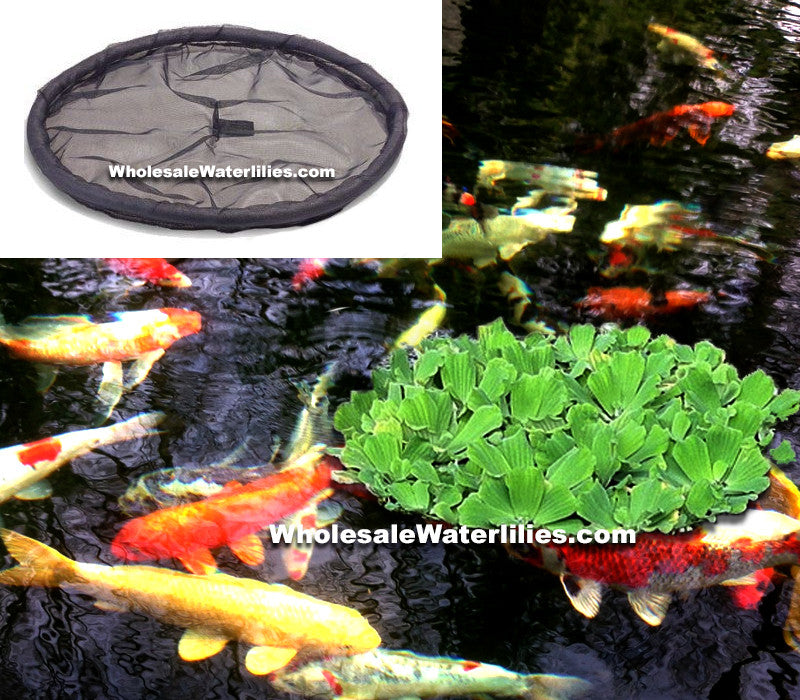 "Large (36"") Floating Koi Plant Barriers - Pond Megastore Wholesale Waterlilies Dept"