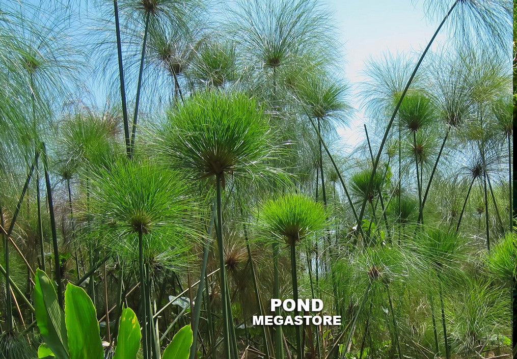 Giant Papyrus | Cyperus | Bareroot - Pond Megastore Wholesale Waterlilies Dept - 3