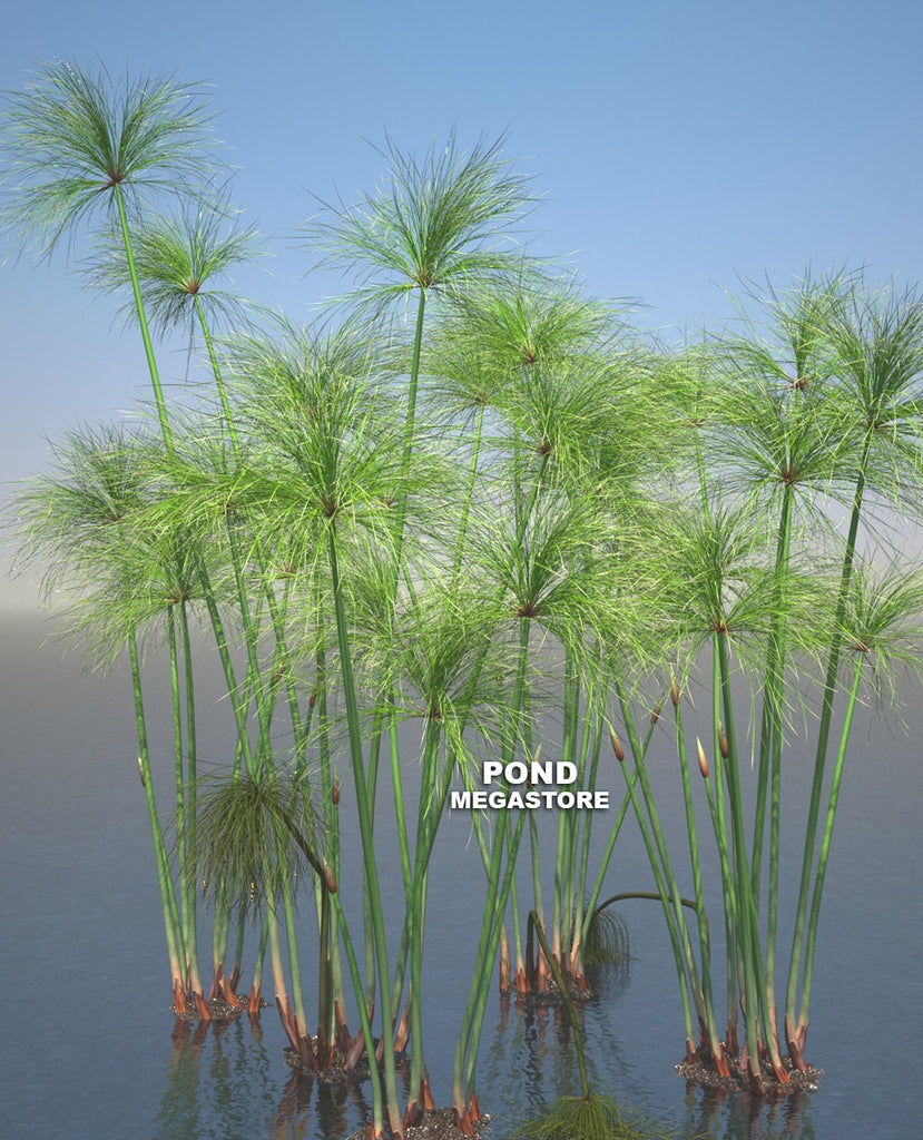 Giant Papyrus | Cyperus | Bareroot - Pond Megastore Wholesale Waterlilies Dept - 1