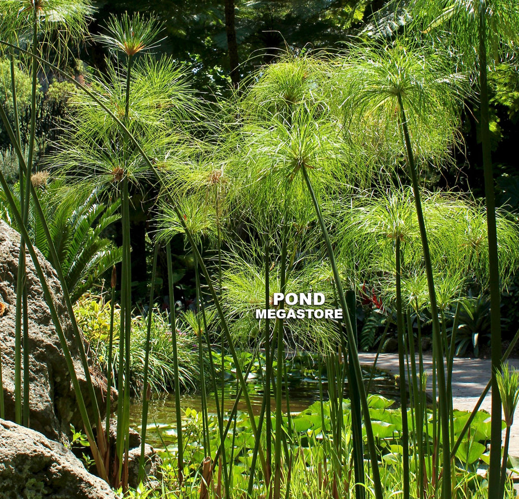 Giant Papyrus | Cyperus | Bareroot - Pond Megastore Wholesale Waterlilies Dept - 2