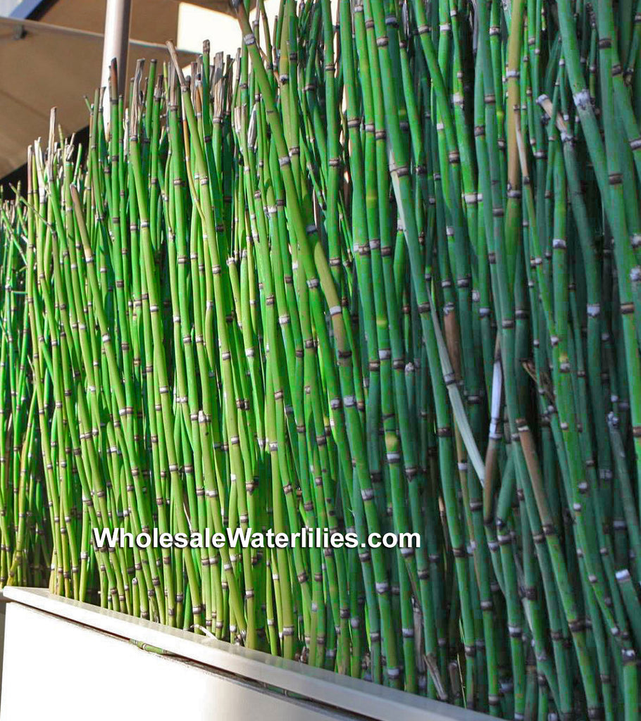 Horsertail Rush | Equisetum hyemale | Scouring Rush | Native - Pond Megastore Wholesale Waterlilies Dept