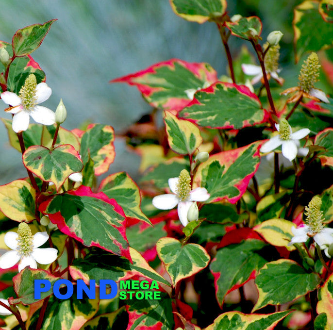 Colorful Chameleon Plant | Houttuynia cordata | Shade Tolerant - Pond Megastore Wholesale Waterlilies Dept