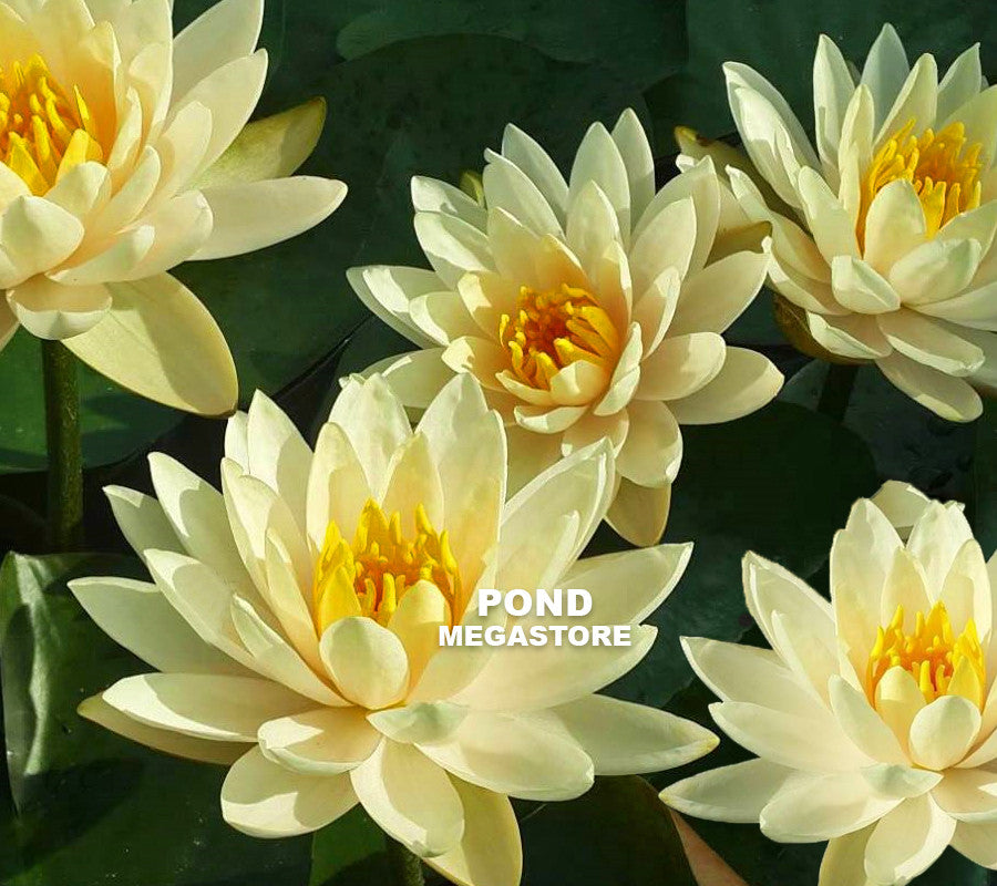 Inner Light Yellow Hardy Water Lily - Pond Megastore Wholesale Waterlilies Dept - 1
