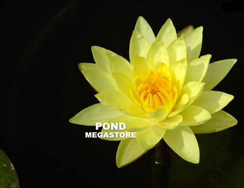 Joey Tomocik | Deepest Yellow Hardy Water Lily - Pond Megastore Wholesale Waterlilies Dept