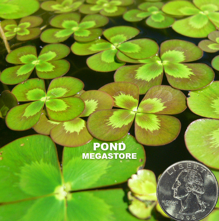 Variegated Four Leaf Clover | Marsilea mutica - Pond Megastore Wholesale Waterlilies Dept