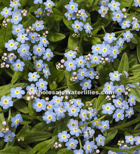 Aquatic Forget-Me-Not | Myosotis scorpioides | Favorite! - Pond Megastore Wholesale Waterlilies Dept