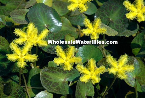 Yellow Variegated Snowflake | Nymphoides geminata | Bareroot - Pond Megastore Wholesale Waterlilies Dept
