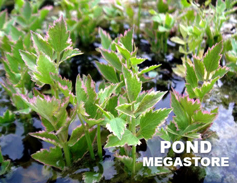 Variegated Water Celery | Oenanthe javanica Flamingo | Stream and Waterfals - Pond Megastore Wholesale Waterlilies Dept
