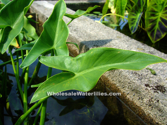 Arrow Arum | Peltandra virginica | Native - Pond Megastore Wholesale Waterlilies Dept - 1