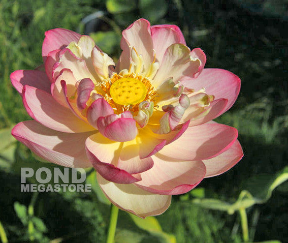 Perry's Super Star Lotus | Large Tall Lotus | - Pond Megastore Wholesale Waterlilies Dept