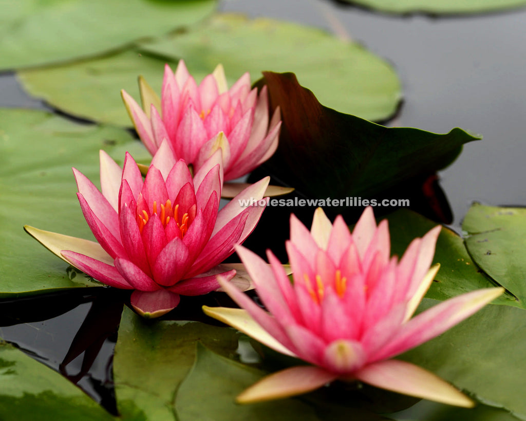 Pink Sparkle | Pink Hardy Water Lily - Pond Megastore Wholesale Waterlilies Dept