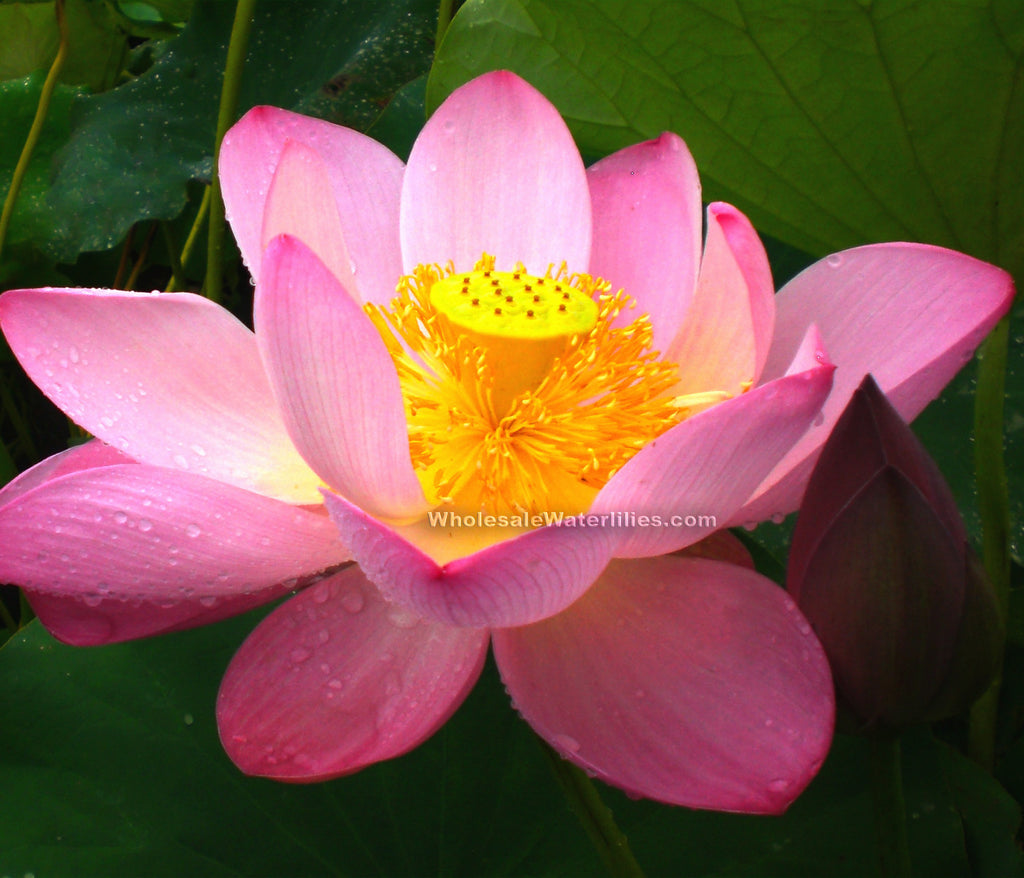 Pink-A-Licious | Large Pink Lotus | Nelumbo Wholesale - Pond Megastore Wholesale Waterlilies Dept