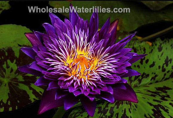 Plum Crazy Dark Purple Double Water Lily New Pond Megastore