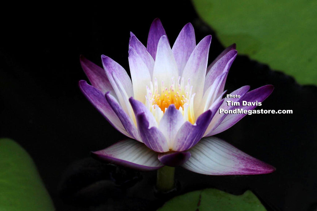 Purple Joy | Purple Bi-Color Water Lily - Pond Megastore Wholesale Waterlilies Dept - 2