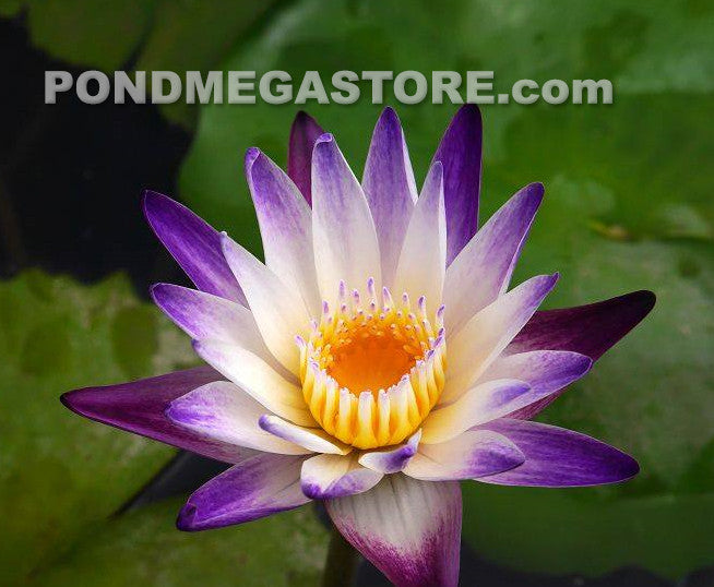 Purple Joy | Purple Bi-Color Water Lily - Pond Megastore Wholesale Waterlilies Dept - 3