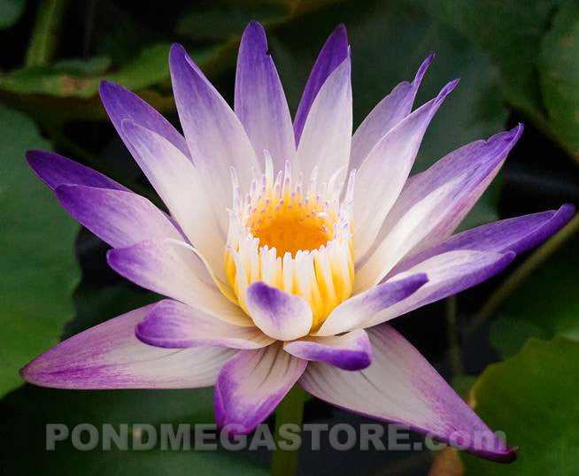 Purple Joy | Purple Bi-Color Water Lily - Pond Megastore Wholesale Waterlilies Dept - 1