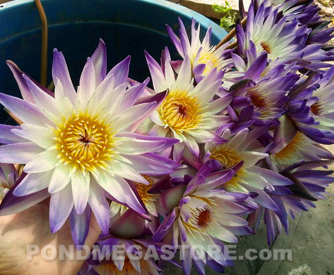 Purple Joy | Purple Bi-Color Water Lily - Pond Megastore Wholesale Waterlilies Dept - 4