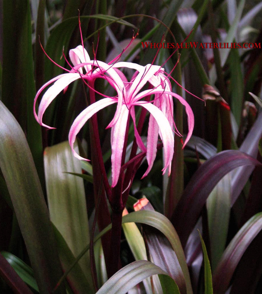 Red Bog Lily | Crinum 'Menehune' - Pond Megastore Wholesale Waterlilies Dept