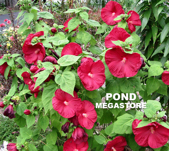 Dwarf Red Bog Hibiscus | Hibiscus moscheutos - Pond Megastore Wholesale Waterlilies Dept