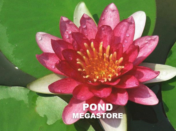 Hardy Assorted RED - growers choice - Pond Megastore Wholesale Waterlilies Dept