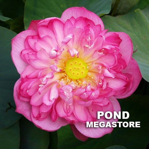 Red Rosy Premium Lotus - Pond Megastore Wholesale Waterlilies Dept