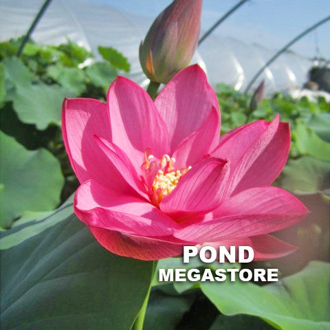 Red Sun Premium Lotus - Pond Megastore Wholesale Waterlilies Dept