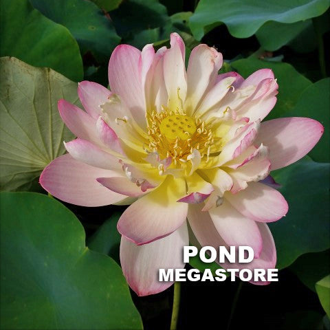 Rosey Clouds Lotus | Versicolor Medium | Heavy Blooming! - Pond Megastore Wholesale Waterlilies Dept