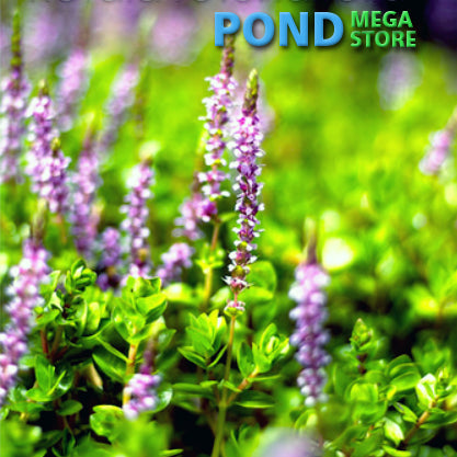 Red-Pink Rotala | Rotala rotundifolia | Sold by Bunch