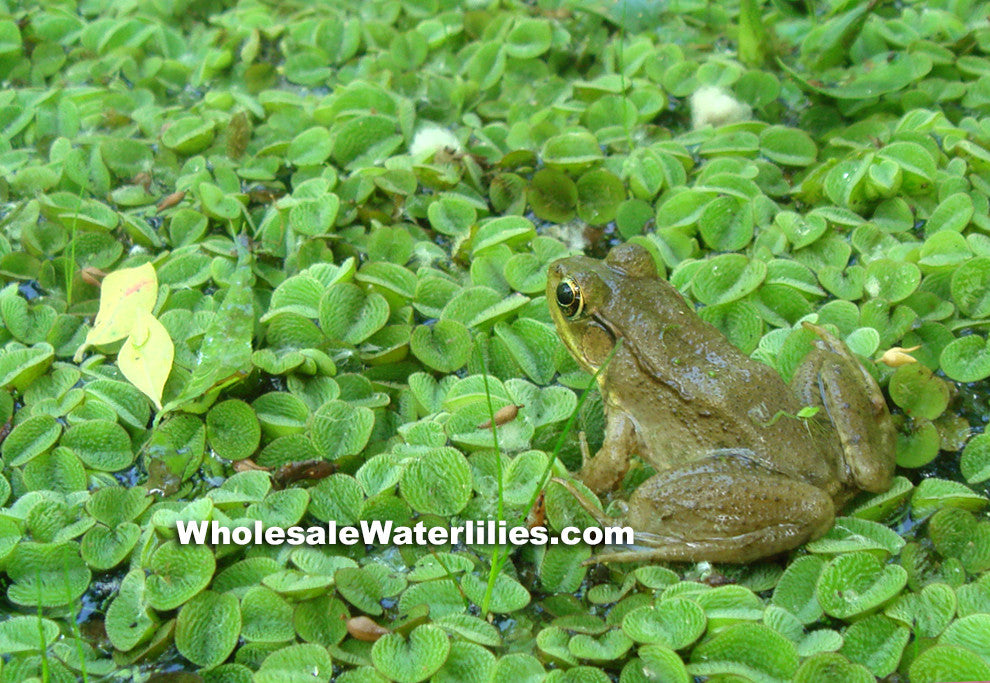 Salvinia | Salvinia Minima | Floating Round Fern - Pond Megastore Wholesale Waterlilies Dept - 2