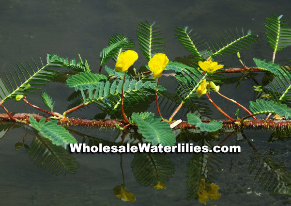 Botswana Wonder | Aeschynomene fluitans | Large Sensitive - Pond Megastore Wholesale Waterlilies Dept - 2