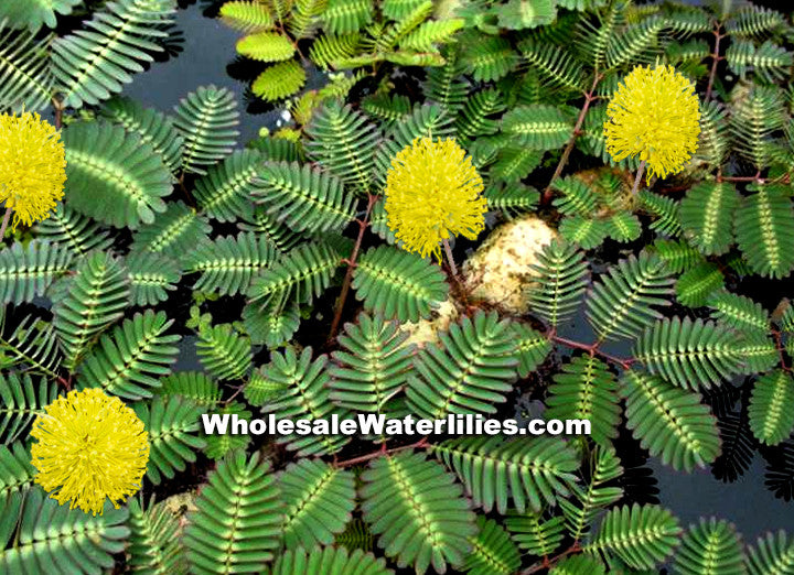 Sensitive Plant | Neptunia oleracea | Water Mimosa - Pond Megastore Wholesale Waterlilies Dept