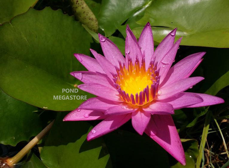 Shirley Bryne - Pink Water Lily