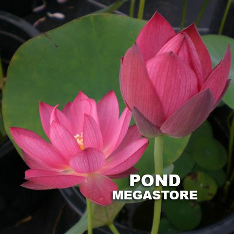 Sparks Lotus - Pond Megastore Wholesale Waterlilies Dept