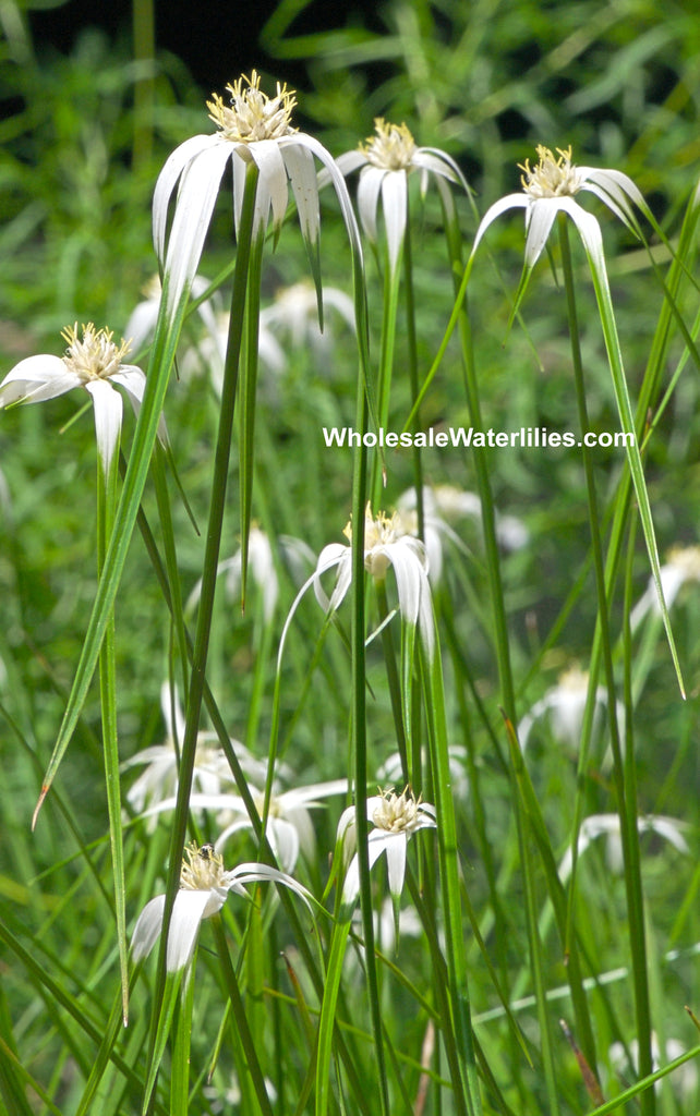Star Grass | Dichromena colorata - Pond Megastore Wholesale Waterlilies Dept