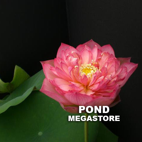 Super Excellence Lotus - Pond Megastore Wholesale Waterlilies Dept - 2