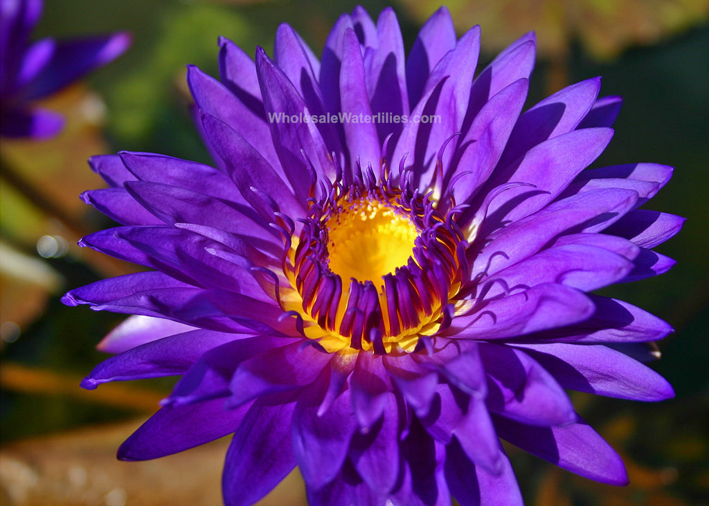 Tanzanite | Dark Purple Water Lily | Favorite - Pond Megastore Wholesale Waterlilies Dept