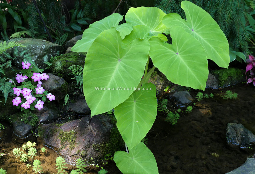 Taro 'Elena' | Colocasia esculenta - Pond Megastore Wholesale Waterlilies Dept