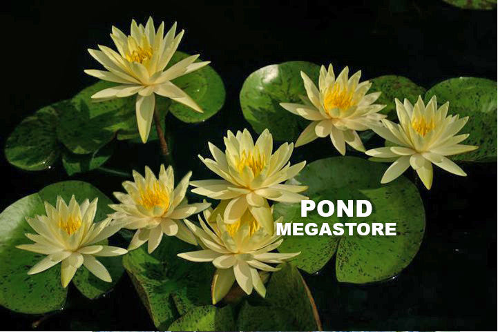 Texas Dawn | Yellow Hardy Water Lily - Pond Megastore Wholesale Waterlilies Dept