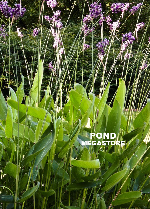Thalia dealbata | Alligator-flag | hard canna - Pond Megastore Wholesale Waterlilies Dept - 2