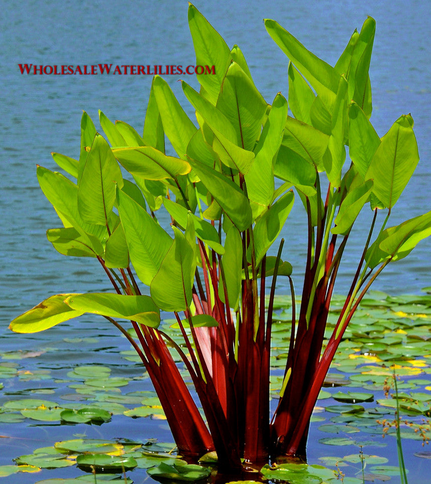 Red Stem Thalia | Thalia geniculata ruminoides - Pond Megastore Wholesale Waterlilies Dept