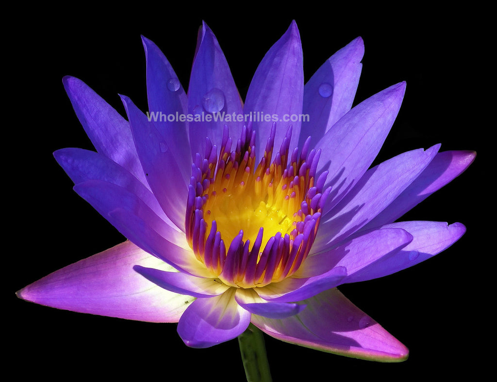 Tina | Purple Water Lily - Pond Megastore Wholesale Waterlilies Dept
