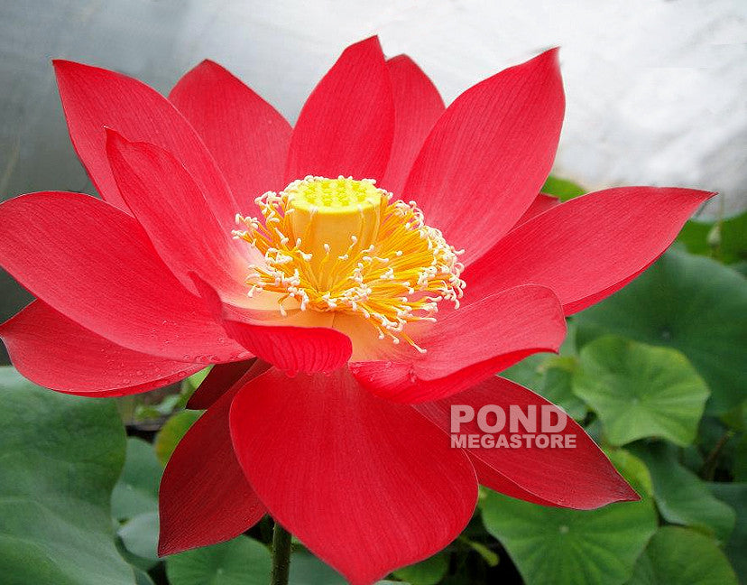 Titan Lotus | Nelumbo nucifera | Red - Pond Megastore Wholesale Waterlilies Dept
