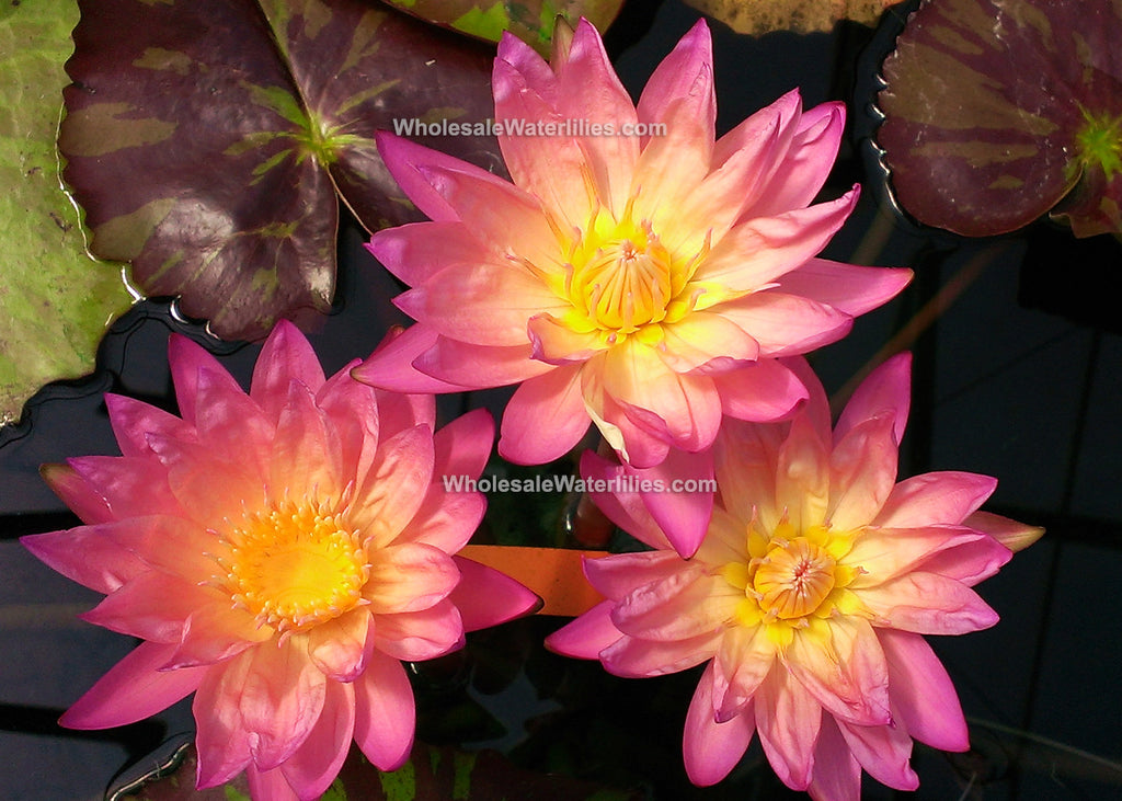 Tropic Sunset | Autumn Water Lily | Heavy Bloomer - Pond Megastore Wholesale Waterlilies Dept