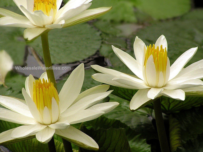 Trudy Slocum | White Evening Blooming Water Lily - Pond Megastore Wholesale Waterlilies Dept - 2
