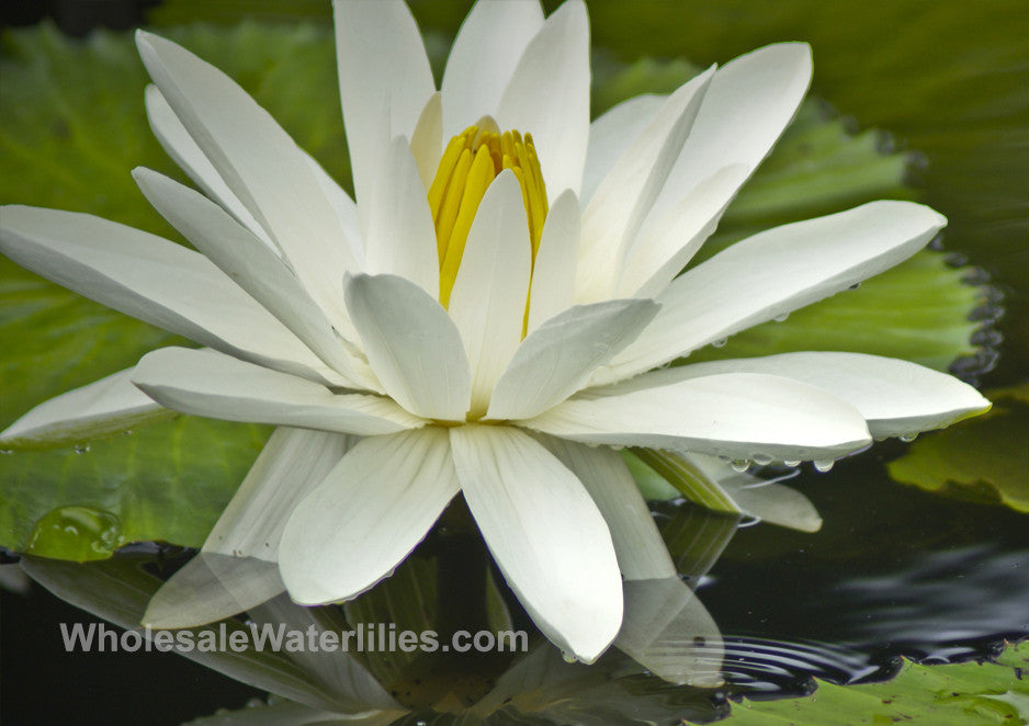 Trudy Slocum | White Evening Blooming Water Lily - Pond Megastore Wholesale Waterlilies Dept - 1