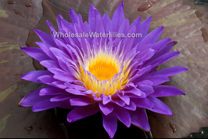 Ultraviolet | Dark Purple Water Lily - Pond Megastore Wholesale Waterlilies Dept