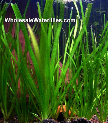 Jungle Vallisneria | Vallisneria americana | Oxygenating Plant - Pond Megastore Wholesale Waterlilies Dept - 1
